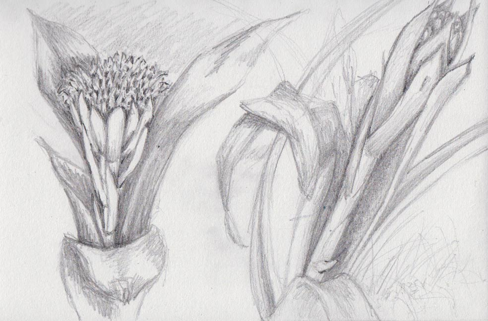 Bromeliad Flowers (pencil)