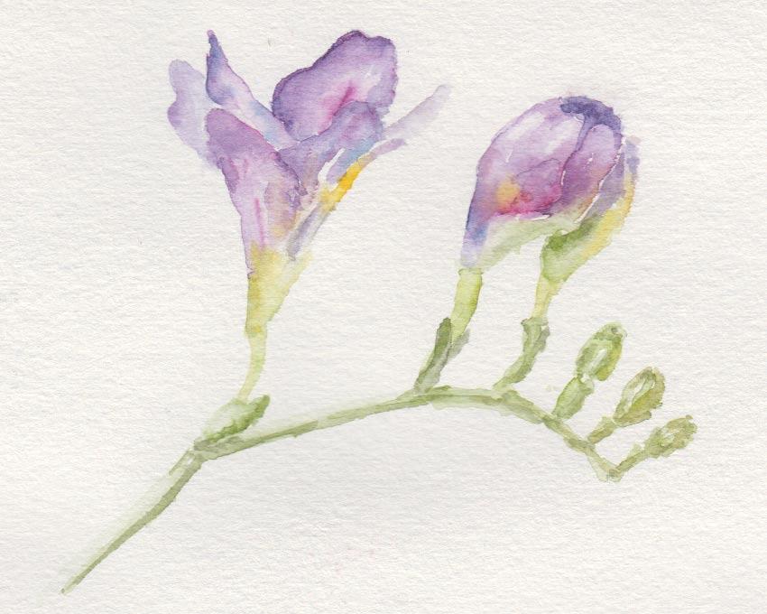 Freesia (watercolour)