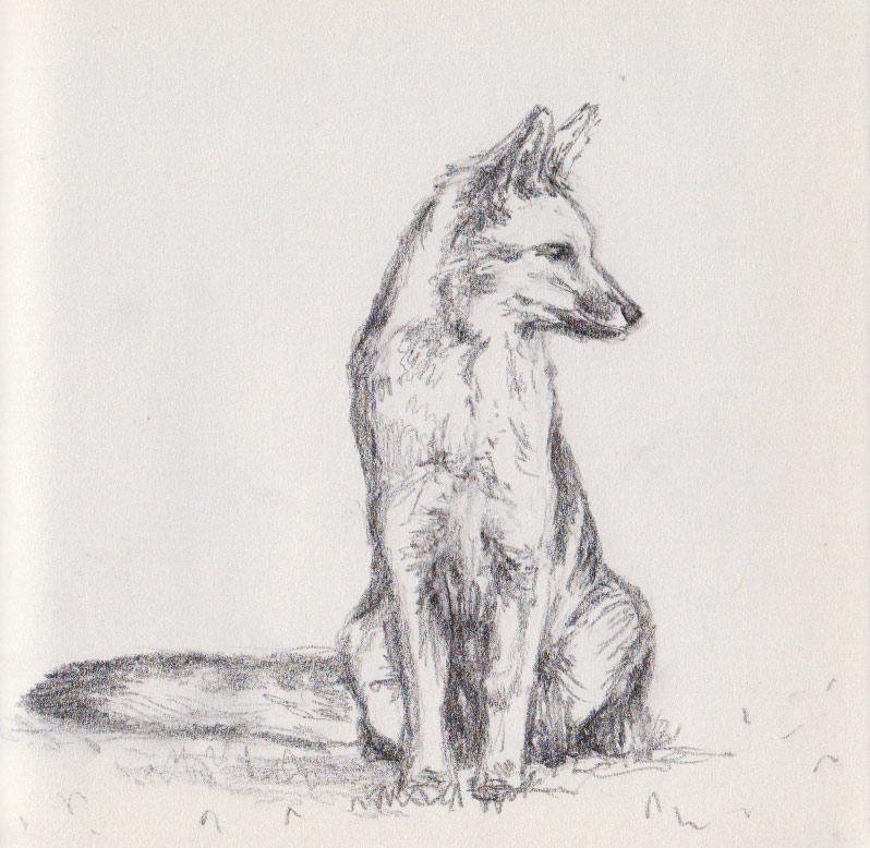Gray Fox (graphite)