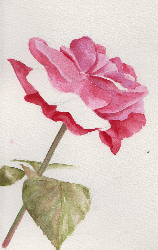 1st Rose (Watercolour)