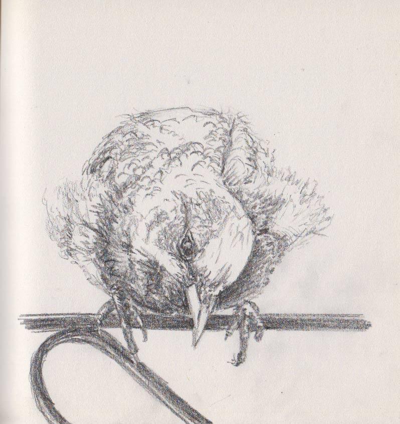 Baby-Starling (Graphite)