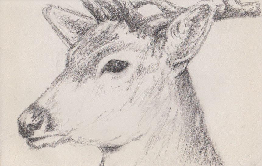 Fallow Deer (Graphite)