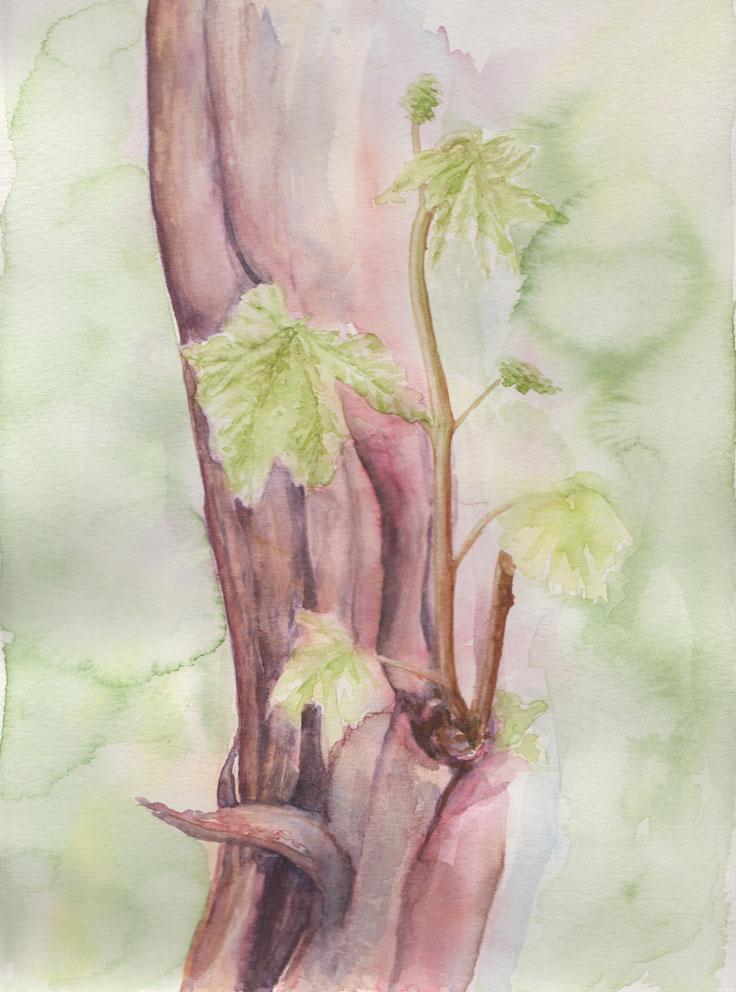 Grapevine (Watercolour)