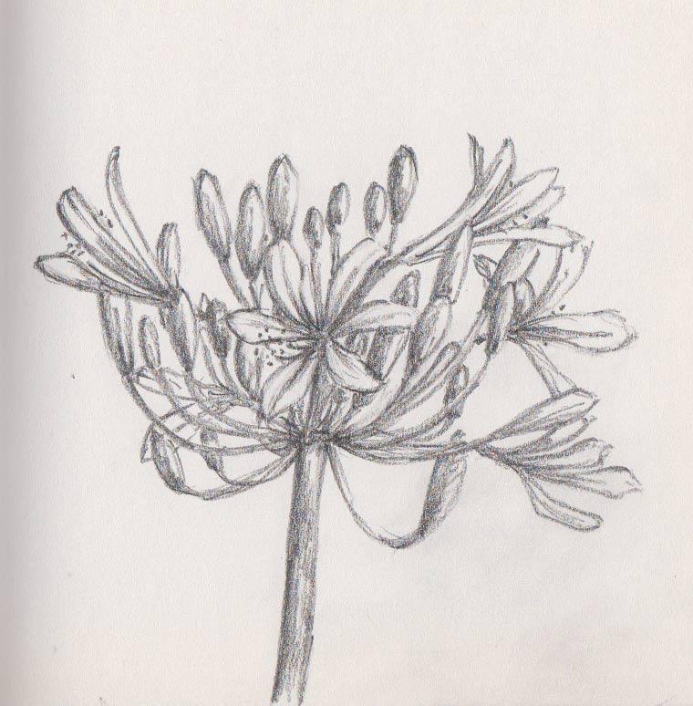 Agapanthus Flower (Graphite)