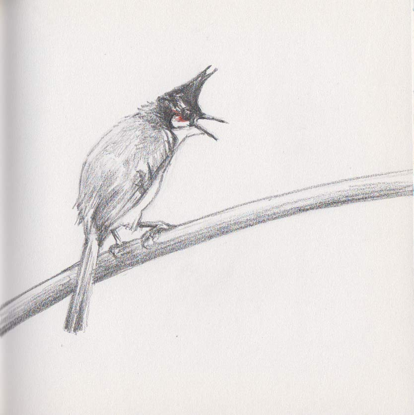 Red Cheeked Bulbul (Graphite)