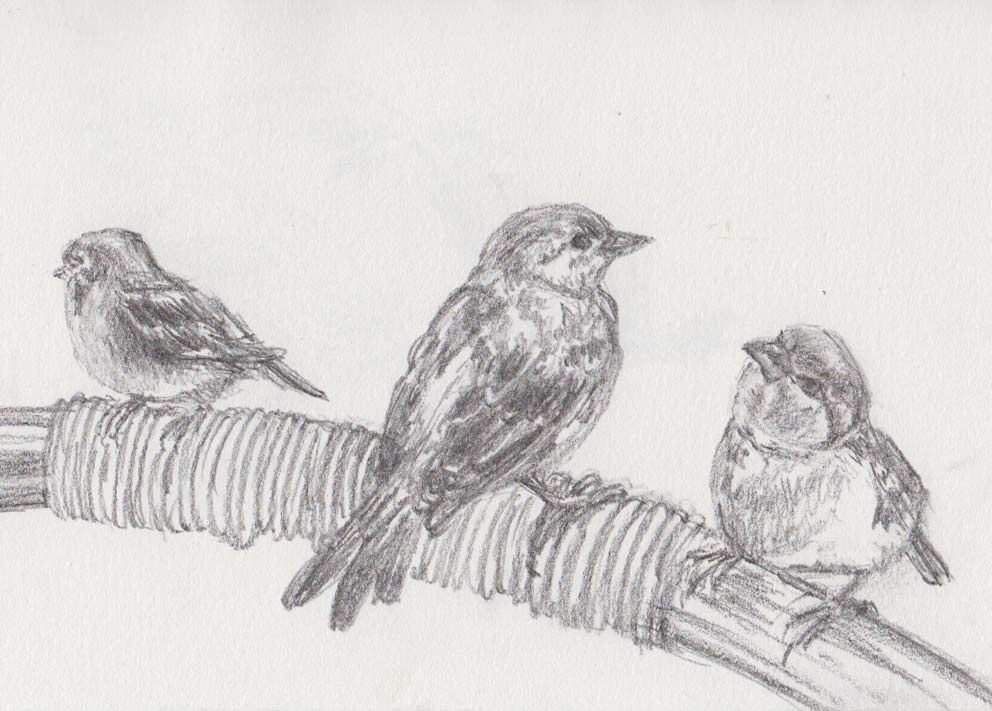 Hungry Sparrows (Graphite)