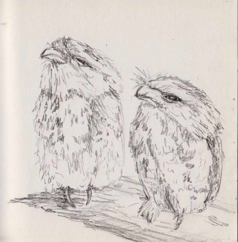 Baby Frogmouth Owls (graphite)