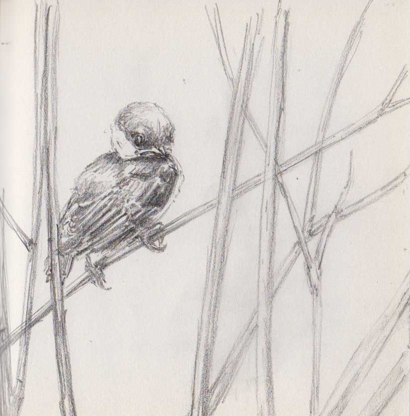 Baby Chickadee (Graphite)